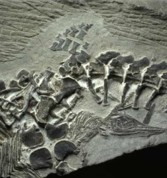 Paleontologists have found what could be the earliest evidence of live birth from an ancient Mesozoic marine reptile in a newfound ichthyosaur fossil. Credit: Ryosuke Motani