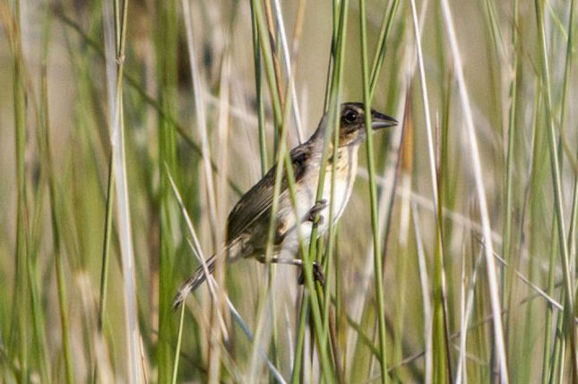 New research shows seaside sparrow living in salt marshes affected by the Deepwater Horizon disaster have incorporated oil from the spill. Photo by Andrea Bonisoli Alquati