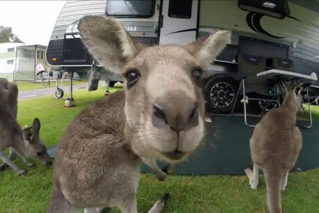 Kangaroos gather at a New South Wales, Australia campsite. Screenshot: Newsflare