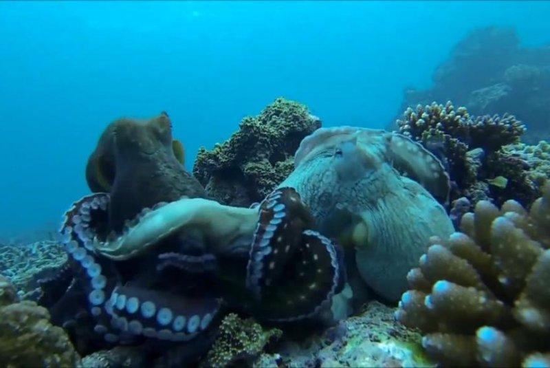 Snorkeler captures underwater octopus fight on camera