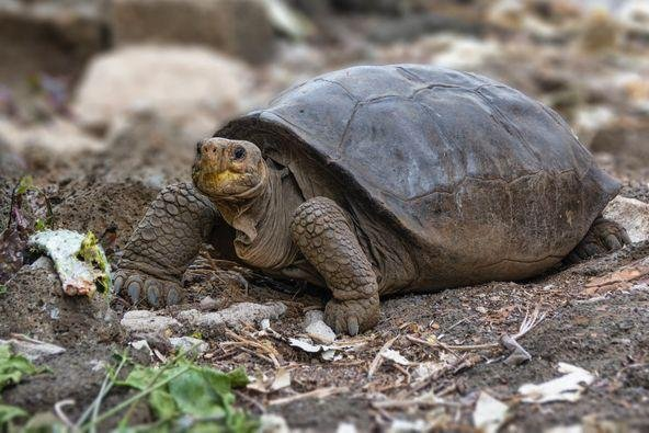 The chelonoidis phantasticus giant tortoise species was thought to have gone extinct in the Galapagos Islands 115 years ago. Photo courtesy Galapagos National Park/Facebook