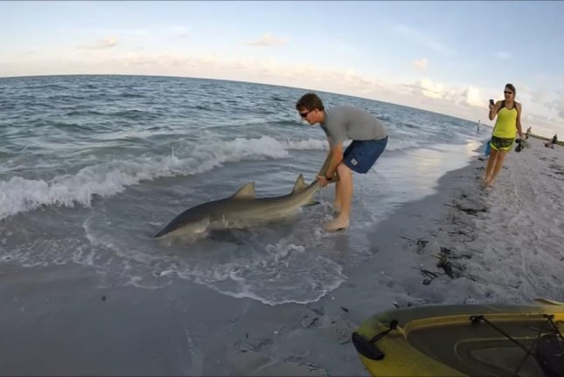 A Florida man drags a lemon shark he caught from his kayak to shore. Screenshot courtesy Storyful