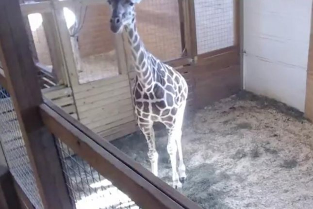 April the giraffe stands inside her living quarters at the Animal Adventure Park outside of Binghamton, N.Y. on Saturday. A webcam of the pregnant giraffe has gone viral online, drawing millions of views. Screen shot courtesy Animal Adventure Park