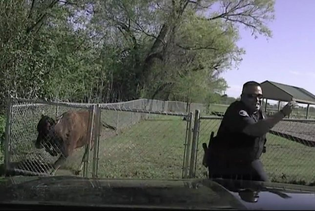 Angry cow has beef with Temple police officer