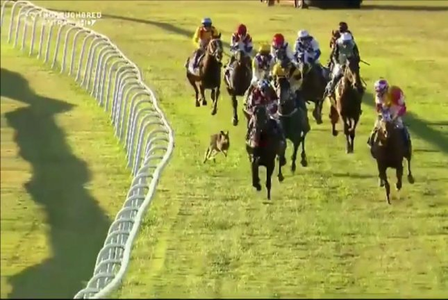 A kangaroo joins a horse race in Australia. Screenshot: Sky Racing/YouTube