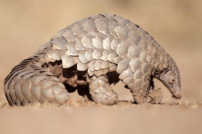 Pangolins are sold for food in live-animal wet markets in China. Photo courtesy of HealthDay News
