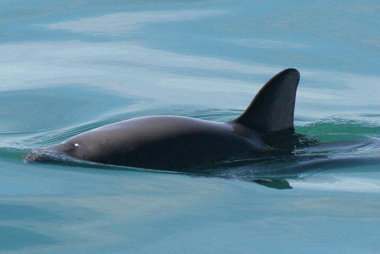 A vaquita porpoise swimming in the Gulf of California. (CC/NOAA)