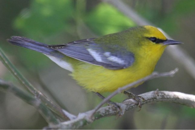 Blue-winged warblers sometimes mate and form hybrids with golden-winged warblers. Photo by TonyCastro/Wikimedia Commons