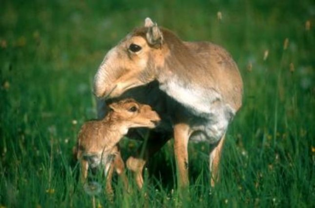 Some of Central Asia's most spectacular and least-known large mammals including the saiga, pictured here, are being adversely affected by a sharp increase in goat herds for the cashmere trade. Credit: Joel Berger/WCS