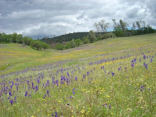 New research suggests wildflower biodiversity is shrinking in California. Photo by UC Davis
