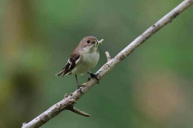 A female pied flycatcher carries a caterpillar back to her nest. Photo by Tom Wallis/University of Exeter