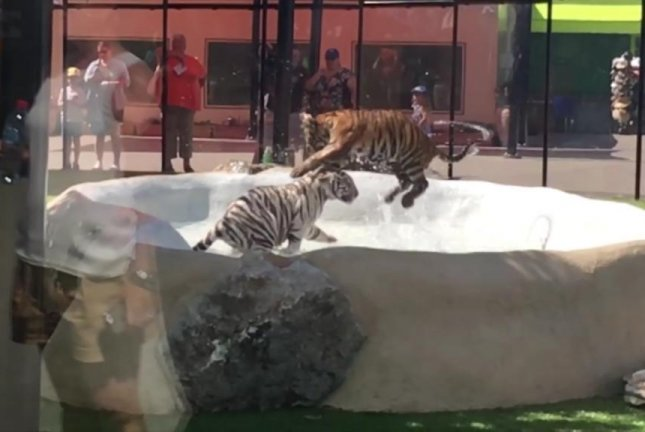 A pair of tiger cubs horseplay in a pool at Australia's Dreamland theme park. Screenshot: Storyful