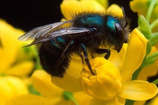 Rising temperatures in the American Southwest could harm the health of blueberry mason bee populations. Photo by Northwestern University