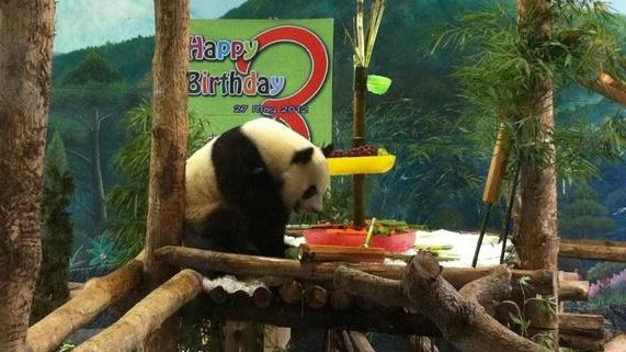 Lin Ping, the first Giant Panda to be born in Thailand, turns three. Photo: GiantPandaZoo.com