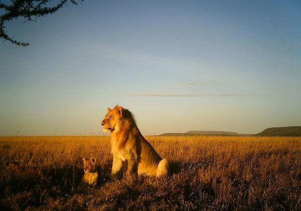 A lion and cub. Photo by Snapshot Serengeti