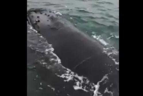 A humpback whale freed from an abandoned fishing net off the coast of New Jersey. Screenshot: Storyful