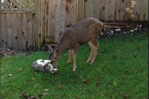 Onca the cat gets a tongue bath from an affectionate deer. Screenshot: Steve Cavers/YouTube