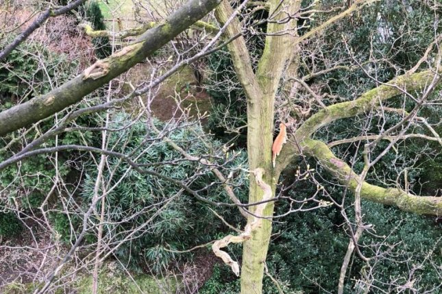 Animal rescuers in Britain were able to get a cat down from a 60-foot tree, only for it to immediately run up a second tree. Photo courtesy of the RSPCA