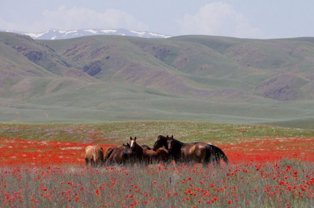 A group of horses graze in Kazakistan. New research suggests horses may have first been domesticated in the Eurasian Steppe. Photo by Togzhan Ibrayeva/Wikimedia Commons