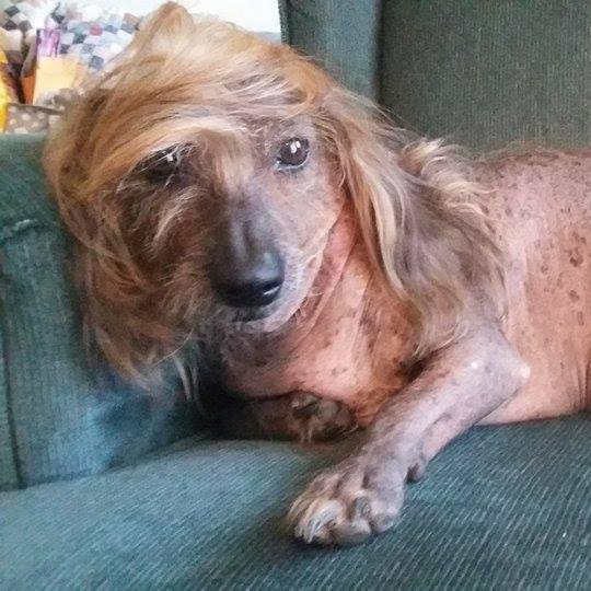 A group of 16 dogs, including a 9-year-old half-dachshund with Donald Trump hair named Himisaboo, are competing for the title of World's Ugliest Dog. The annual competition held at the Sonoma-Marin Fair in California is meant to celebrate the dogs' imperfections.  Photo courtesy of Sonoma-Marin Fair