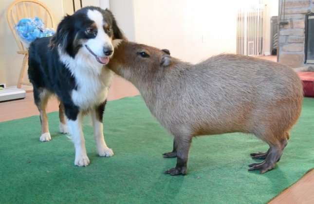 A capybara was shown on video enjoying play time with it's owners pair of Border Collies. JoeJoe the Capybara can be seen continuing his loving relationship with Zoe the Border Collie as the second dog was seen walking off camera. Screen capture/JoeJoe The Capybara/YouTube