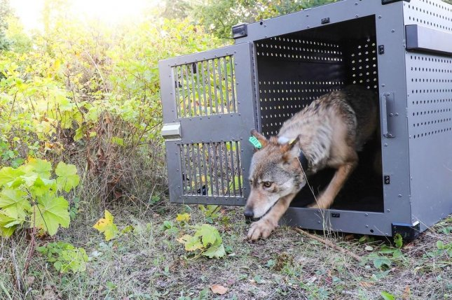 Researchers released two wolves, including a four-year-old female, pictured, onto Isle Royale. Photo by NPS