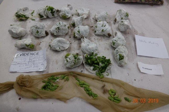 Authorities in New Zealand said a woman attempted to smuggle947 succulents and cacti into the country by concealing them in stalkings and strapping them to her body. Photo courtesy of the Ministry for Primary Industries