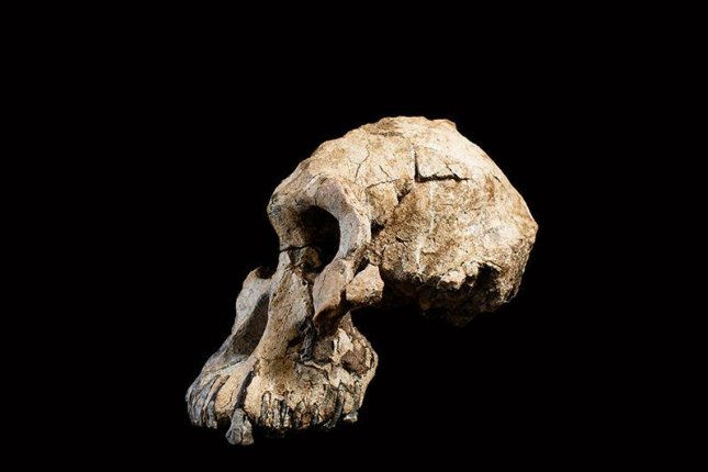 The near-complete 3.8-million-year-old hominin skull belongs to the ancestor of Lucy, the famed hominin. Photo by Dale Omori/Cleveland Museum of Natural History