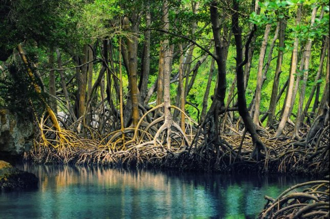 If carbon emissions are curbed by 2050, mangroves are likely to mostly disappear. Photo by Anton Bielousov/Wikimedia Commons