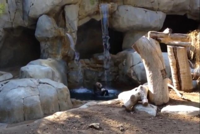 Grizzly Bear Relaxes With A Waterfall Shower And Large Bone Bath Toy