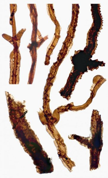 Fossilized filaments of the ancient fungus Tortotubus found in Gotland, Sweden. Photo by Martin Smith
