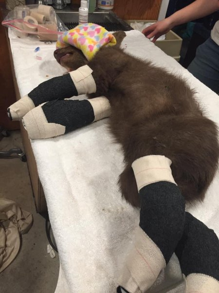Tamarack the bear cub was found in the yard of a Markleeville after suffering burns from a wildfire near Lake Tahoe in California. Photo courtesy of Lake Tahoe Wildlife Care