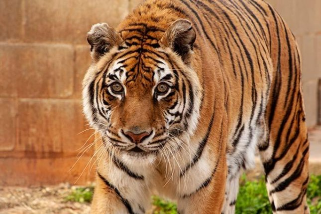 Bengali, a tiger living at the Tiger Creek Animal Sanctuary in Tyler, Texas, was dubbed the world's oldest tiger living in captivity by Guinness World Records at the age of 25 years and 319 days old. Photo courtesy of Guinness World Records