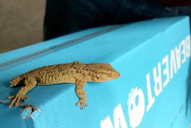 Animal rescuers in Britain said workers at a warehouse discovered a small gecko that had stowed away for hundreds of miles with a shipment of beer. Photo courtesy of the RSPCA
