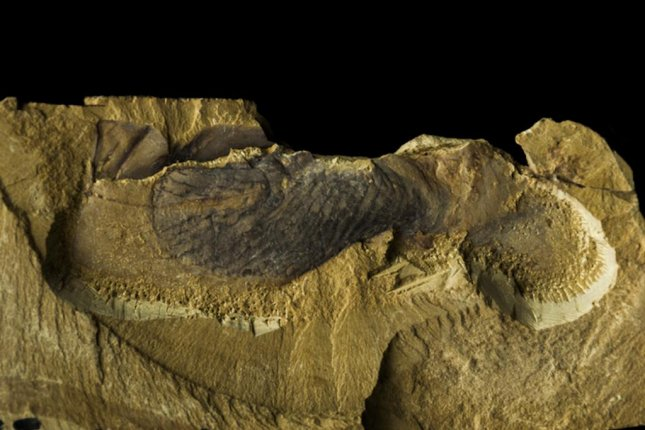 The Cambrian fossil Stromatoveris proved an important link between earlier and later animal groups from the Ediacaran and Cambrian periods. Photo by Northwest University, China/J. Hoyal Cuthill