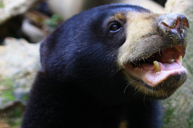 Sun bears mimic each other's faces during gentle play. Photo by Daniela Hartmann/Portsmouth University