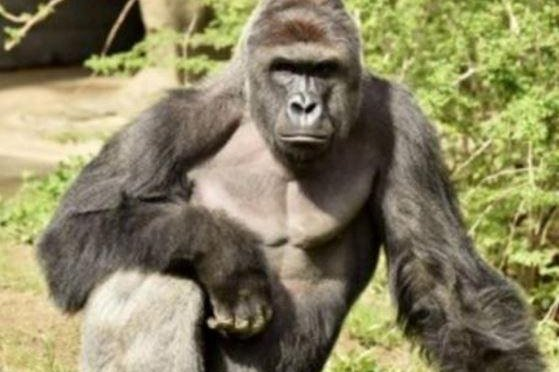 Prosecutor: No charges against mom of boy who fell into zoo gorilla exhibit