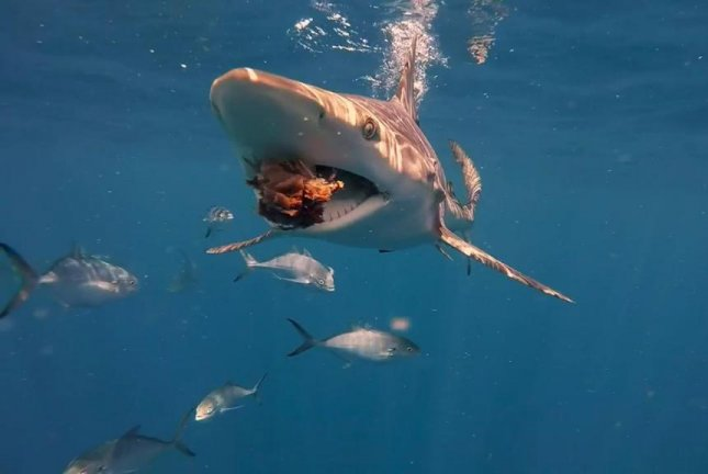 A blacktip shark grabs a snack while swimming near a diver off the Florida coast. Screenshot: Newsflare