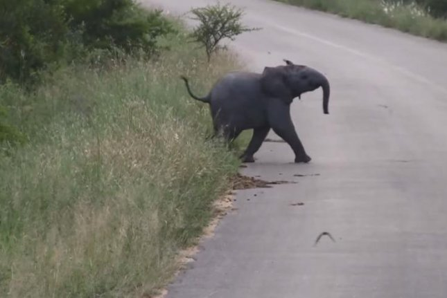 A baby elephant chases swallows in the road at Kruger National Park in South Africa. Kruger Slightings/YouTube