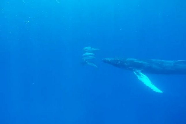 A humpback whale plays with dolphins off the coast of Hawaii. Storyful video screenshot