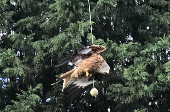 A red kite was rescued after being spotted entangled in a family's broken swingball set. Photo courtesy of the RSPCA