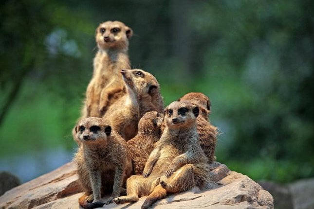 Smaller groups of meerkats with more pups can sometimes defeat larger rival groups, apparently motivated by their responsibility to the next generation. Photo by PickPik/CC