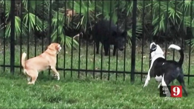 Two dogs confront a wild boar in the Avalon Park neighborhood of Orlando. Screenshot: WFTV