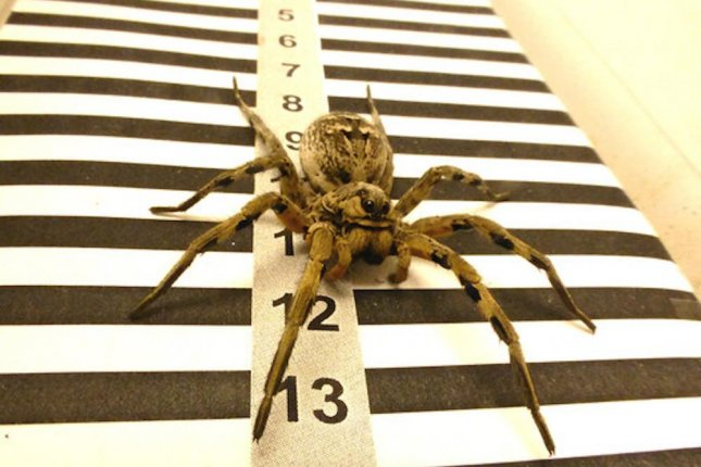 Research showed the tarantula wolf spider relies on its lateral eyes to calculate distance and plot its path to and from its burrow. Photo by Joaquin Ortega Escobar/SINC