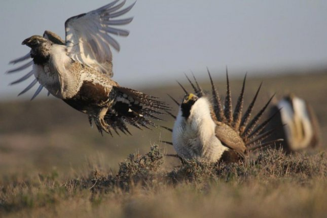 Male sage-grouse displaying and carrying out breeding activities. The birds face such threats as wildfire, climate change and West Nile Virus. Photo by Todd Black/Utah State University