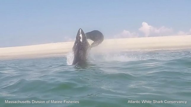 A seal fleeing a great white shark in Massachusetts waters leaps into the air and slaps the predator with its tail. Atlantic White Shark Conservancy/YouTube video screenshot