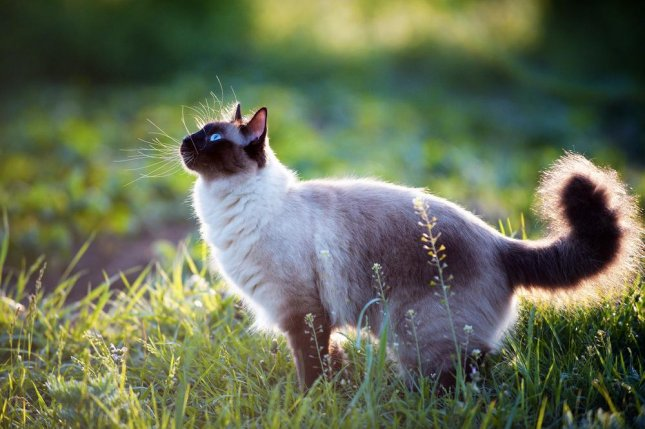 Cats use hearing and a basic understanding of physics to anticipate the presence of unseen objects. Photo by Bershadsky Yuri/Shutterstock