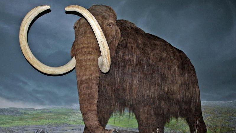 Woolly mammoth restoration at the Royal British Columbia Museum, Victoria, British Columbia. Credit: WolfmanSF, Wikimedia Commons
