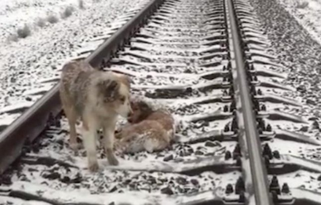A dog in the Ukraine protected and warmed an injured canine friend who was stranded in the middle of a railroad track. The two dogs were eventually rescued from the tracks and returned two their owners.  Screen capture/Storyful/AOL