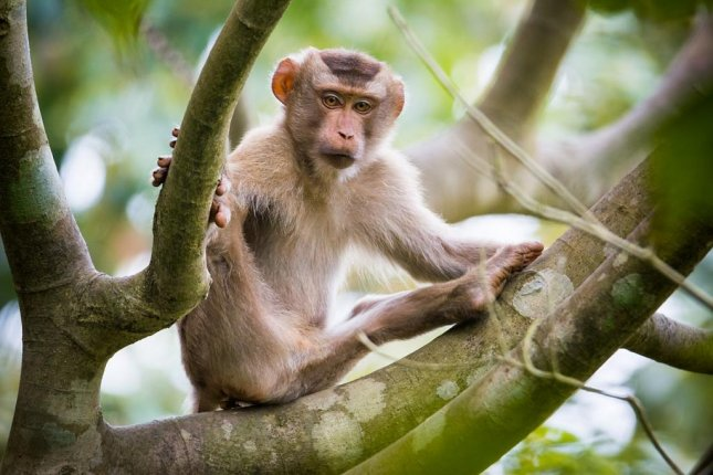 New research suggests the brains of macaque monkeys don't respond to tonal sounds, or harmonic sounds, as excitedly as the human brain does. Photo by Wikimedia Commons